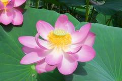 Sjö med blommande lotusblommor royaltyfria bilder
