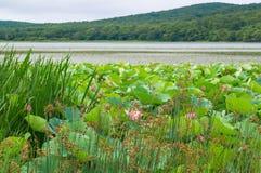 Sjö med lotusblommablommor Komarova arkivfoto