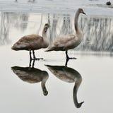 Sjö med svanar royaltyfri foto
