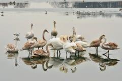 Sjö med svanar royaltyfria bilder