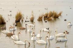 Sjö med vita svanar, royaltyfri foto