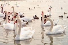 Sjö med vita svanar royaltyfri bild