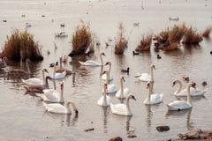 Sjö med vita svanar royaltyfria bilder