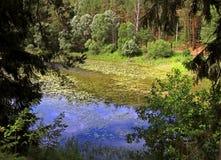 Sjö som är bevuxen med den gröna andmatet arkivbilder