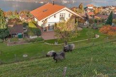 SJÖ THUN, SCHWEIZ - OKTOBER 27, 2015: Höstsikt av sjön Thun och den typiska Schweiz byn nära stad av Interlaken Arkivbild