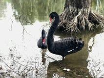 Sjö träd, vatten, fågel, djur, svanar, svart som är härlig, förälskelse, två, lös värld, förbindelse arkivfoto