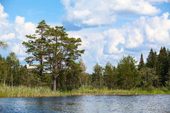 Sjöbanken med evergreen sörjer, sommarlandskapet royaltyfria foton