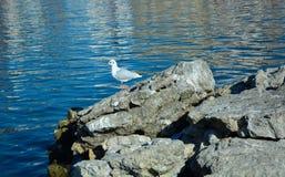 Sjöfiskmås på Ohrid sjön Arkivfoto