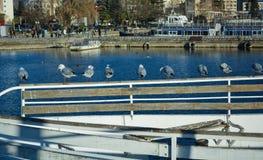 Sjöfiskmåsar på Ohrid sjön Arkivfoton