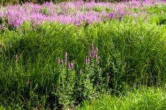 Sjögräs och blommor Fotografering för Bildbyråer