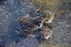 Sjögrodor i processen av avel bland ägg royaltyfri bild