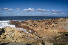 Sjölejon i Cabo Polonio Arkivfoton