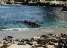 Sjölejon i den La Jolla lilla viken Arkivfoto