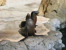 Sjölejon i deras livsmiljö Akvarium av det Stillahavs-, Long Beach, Kalifornien, USA royaltyfri fotografi