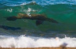 Sjölejon i havet arenaceous Halvö Valdes Royaltyfri Bild