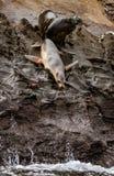 Sjölejon omkring som hoppar in i vatten arkivfoto