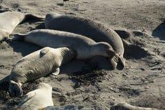 Sjölejon på den stora Sur Kalifornien västkusten Royaltyfria Bilder