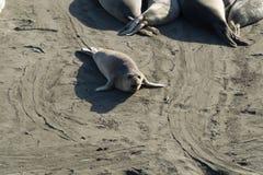 Sjölejon på den stora Sur Kalifornien västkusten Arkivfoton