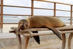 Sjölejon på en bänk, Santa Cruz Island, Galapagos Arkivfoto