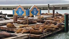 Sjölejon på fiskares hamnplatspir 39 i San Francisco, USA, 2017 stock video