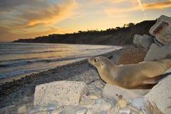 Sjölejon på kust Arkivfoto