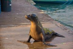 Sjölejon på pelikanfjärden Arkivfoto