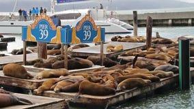 Sjölejon på pir 39 för hamnplats för fiskare` s i San Francisco, USA, 2017 lager videofilmer
