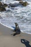 Sjölejon på stranden av La Jolla Kalifornien arkivfoton