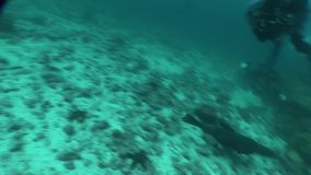 Sjölejon som dyker det undervattens- videopd Stilla havet för Galapagos öar stock video