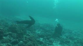 Sjölejon som dyker det undervattens- videopd Stilla havet för Galapagos öar arkivfilmer