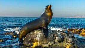 Sjölejon som poserar, La Jolla strand, San Diego, Kalifornien USA fotografering för bildbyråer