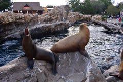 Sjölejon som skriker för mat på Marine Theme Park i internationellt drevområde royaltyfria bilder