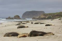 Sjölejon som sover på den australiska stranden Arkivbild