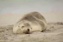 Sjölejon som sover på den australiska stranden Royaltyfria Foton