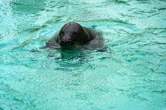 Sjölejon som tar ett bad arkivfoton