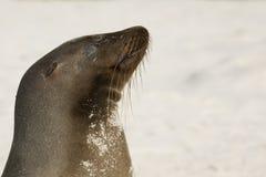 Sjölejon som tycker om solen på stranden Arkivbild