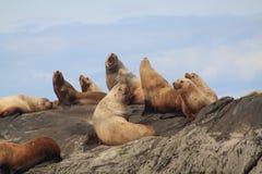 Sjölejon som värma sig på Belle Chain Islands, F. KR. Arkivfoto