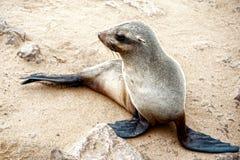 Sjölejon till uddekorset, Namibia, Afrika Royaltyfri Bild
