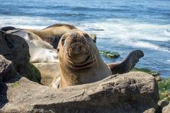 Sjölejonet behandla som ett barn skyddsremsan - valpen på stranden, La Jolla, Kalifornien Royaltyfria Foton