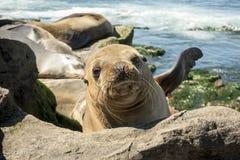 Sjölejonet behandla som ett barn skyddsremsan - valpen på stranden, La Jolla, Kalifornien Royaltyfri Fotografi