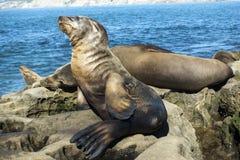 Sjölejonet behandla som ett barn skyddsremsan - valpen på stranden, La Jolla, Kalifornien Arkivbilder