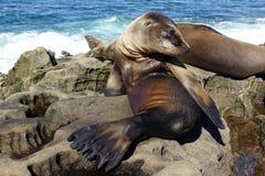 Sjölejonet behandla som ett barn skyddsremsan - valpen på stranden, La Jolla, Kalifornien Fotografering för Bildbyråer
