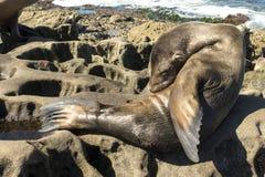 Sjölejonet behandla som ett barn skyddsremsan - valpen som sover på stranden, La Jolla, Kalifornien Royaltyfri Fotografi