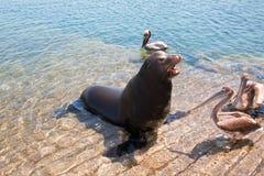 Sjölejonet och 3 pelikan på marinafartyget lanserar i Cabo San Lucas Mexico royaltyfria foton