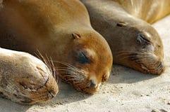 Sjölejonupp-slut på den Galapagos stranden royaltyfri foto