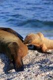 Sjölejonvalp som diar från moder på stranden Arkivbild