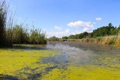 Sjön med gröna alger och andmatet på vattnet ytbehandlar Royaltyfria Bilder