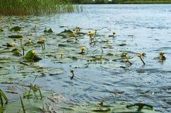 Sjön täckas med gula liljor, gula näckrors på floden Royaltyfria Bilder