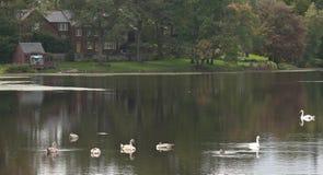 Sjöplats av det vita svanar och huset Arkivbild