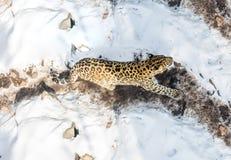 Sjösidaleoparden, det aggressiva djuret går på snöig jordning, stor härlig randig leopard arkivbilder
